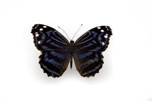 Mexican Bluewing-8205
